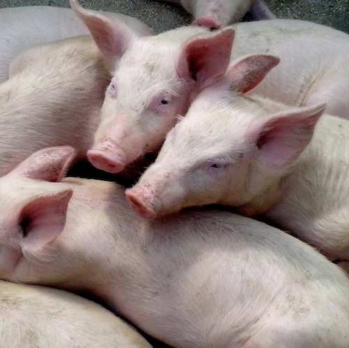 Jake Grodahl, Pork Producer in North West Iowa